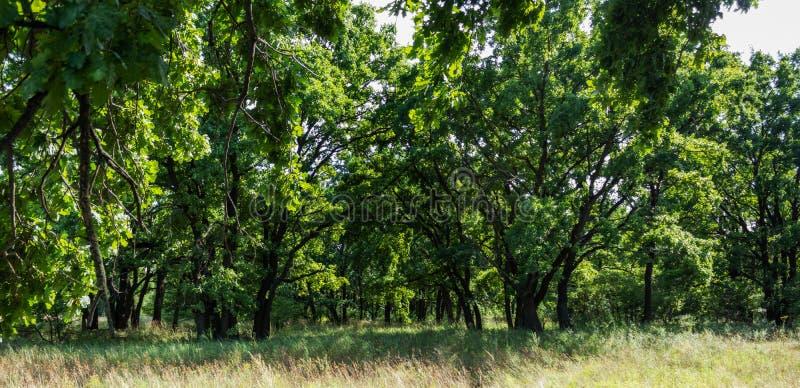 Dębowy las i zielona trawa fotografia stock