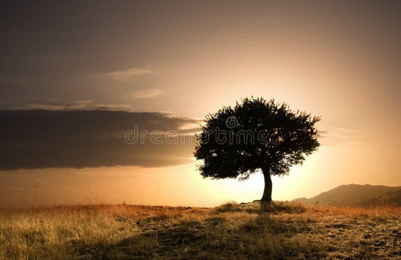 dębowy odludny drzewo zdjęcie royalty free