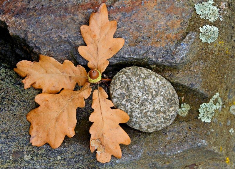 Dębowych drzew acorn z kamieniem i liście zdjęcia stock