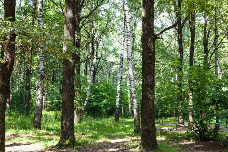 dębu i brzozy zielony las w august obrazy stock
