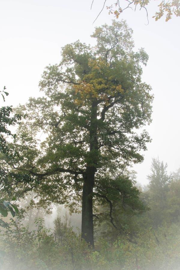 Dęby i mgła fotografia stock