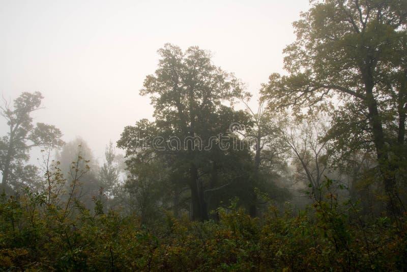 Dęby i mgła zdjęcie royalty free