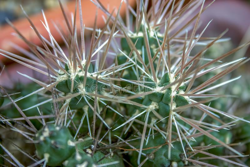 Dłudzy ostrzy ciernie kaktus obrazy royalty free