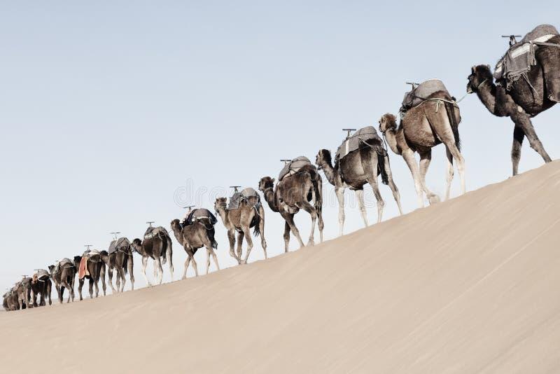 Długa, niekończąca się karawana wielbłądów dromedary w Erg Chebbi w Merzouga, Sahara na pustyni Maroko zdjęcia stock