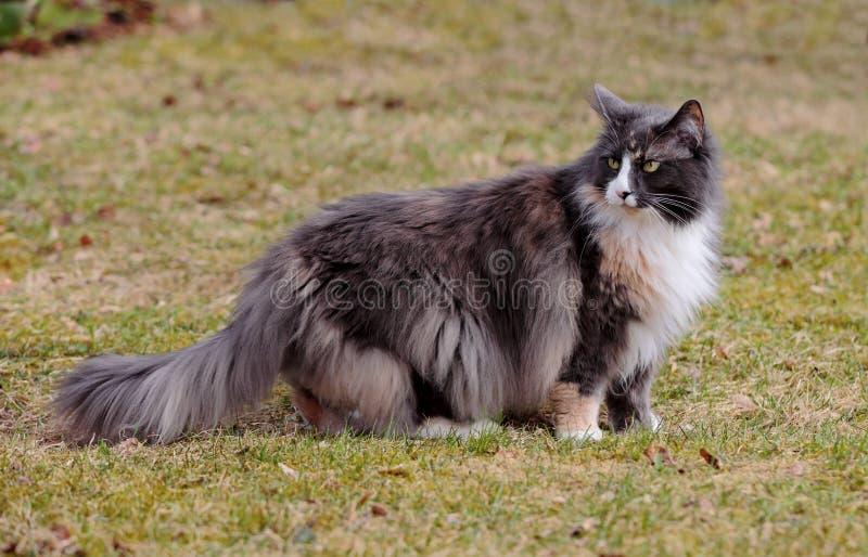 Długa z włosami norweska lasowa kot kobieta fotografia royalty free
