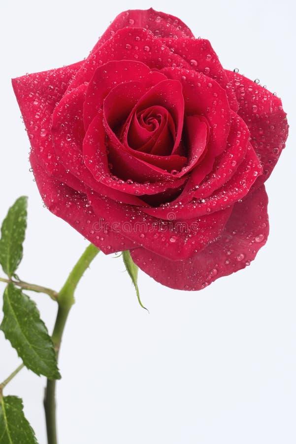 długi czerwieni róży trzon zdjęcie stock