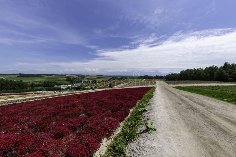 Długi czerwony rząd kwiatu pole wzdłuż drogi z chmurą i niebieskim niebem obrazy royalty free