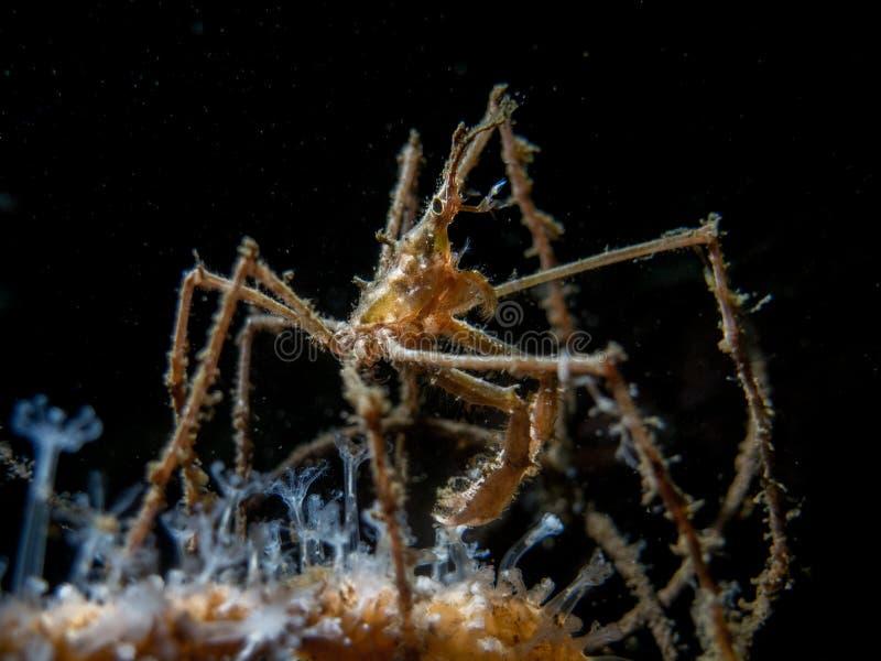 Długi Iść na piechotę pająka krab, Maropodia Rostrata - Loch Długo obraz stock