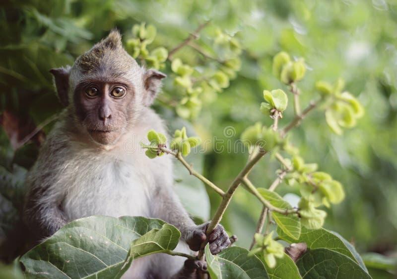 Długi ogoniasty makak małp dziecko zdjęcie royalty free