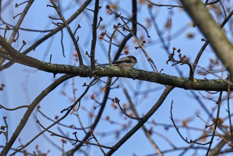 Długi ogoniasty tit ptak zdjęcia royalty free