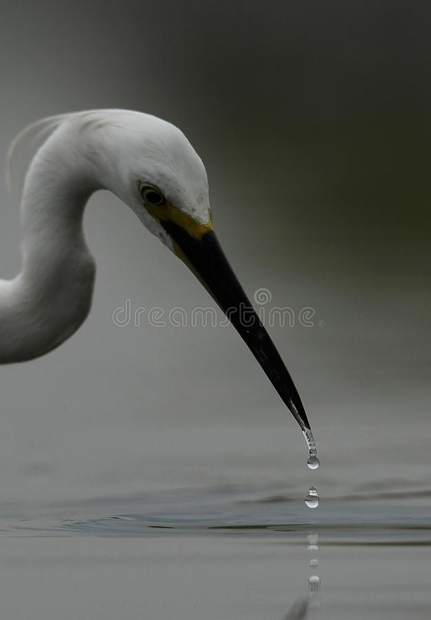 Długi szyja bocian z waterdrop od swój belfra obrazy stock