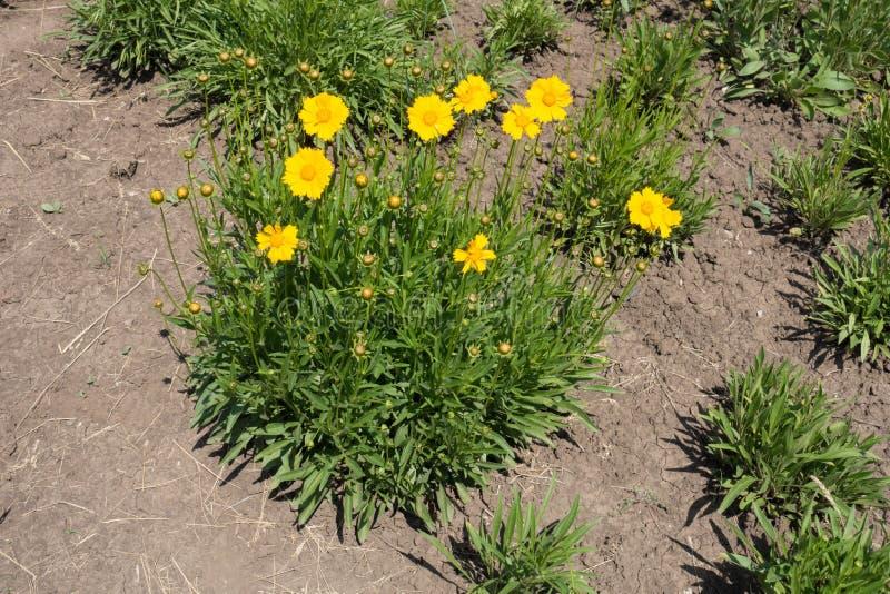 Długi widok kwiatonośny Coreopsis lanceolata zdjęcia royalty free