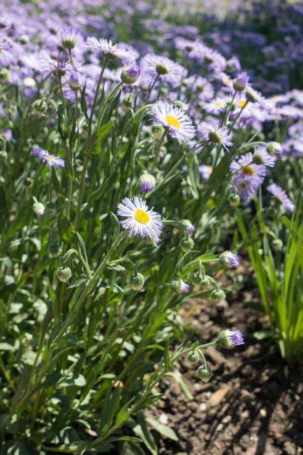Długi widok osikowy fleabane w kwiacie fotografia royalty free