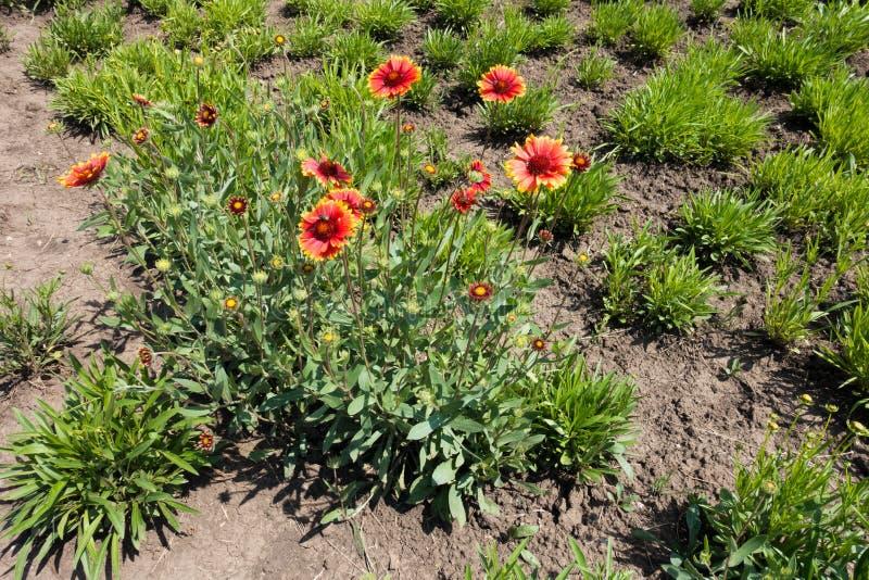 Długi widok pospolita blanketflower roślina obrazy stock