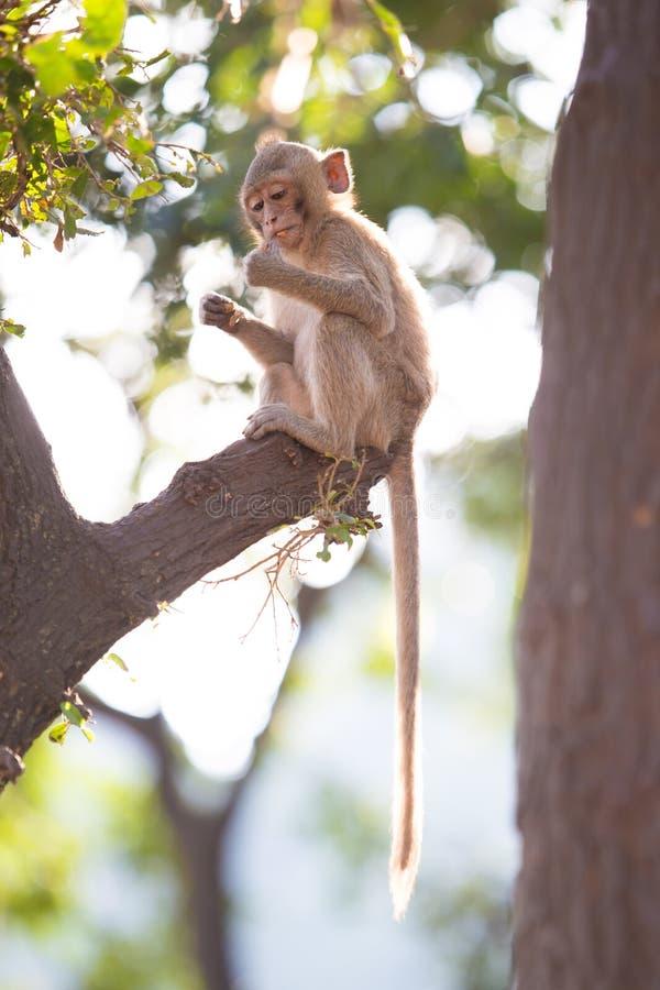 długo makak śledzić fotografia stock