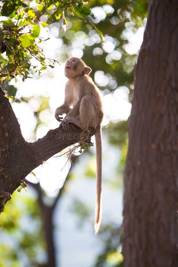 długo makak śledzić zdjęcie stock