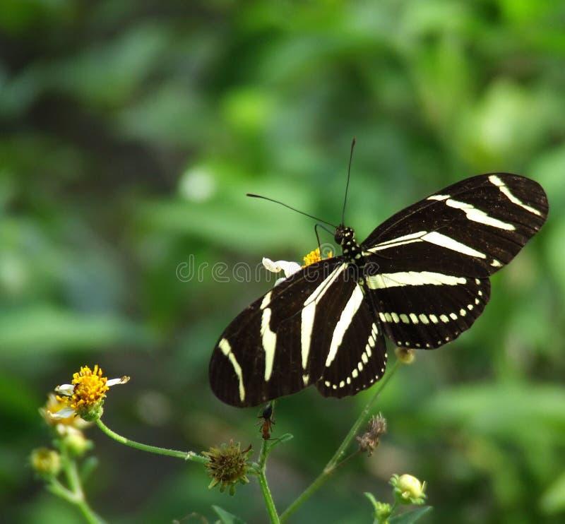 długo skrzydłowa zebra zdjęcie royalty free