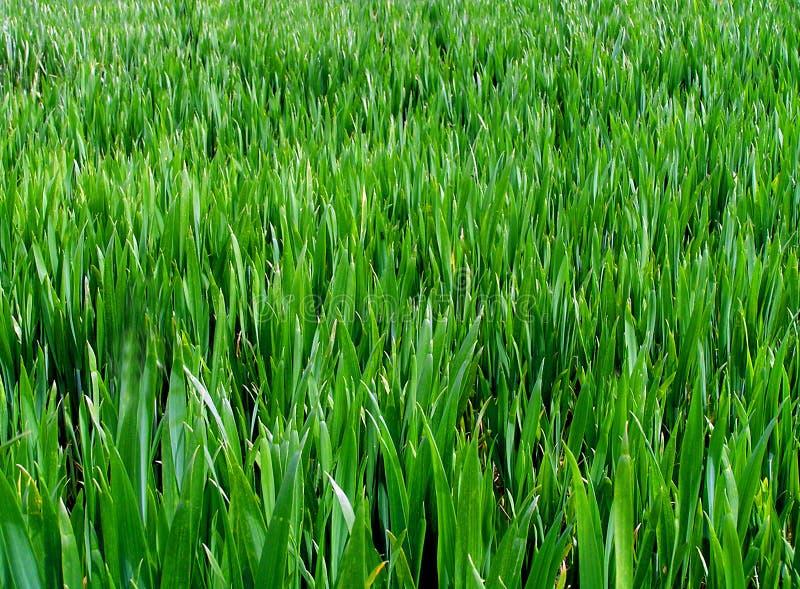 długo trawy. zdjęcia stock