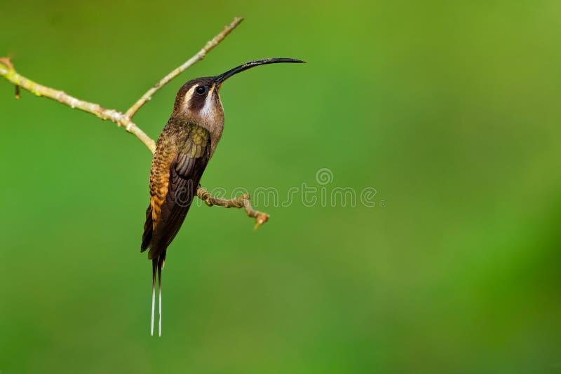 Długodzioby eremita - Phaethornis longirostris wielki hummingbird, osiadły rozpłodnik od środkowych Meksyk południe północno-zach zdjęcie royalty free