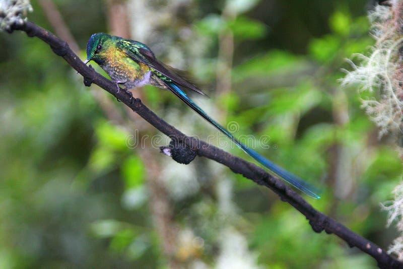 Długoogonkowa sylfida, hummingbird w Ekwador zdjęcia royalty free