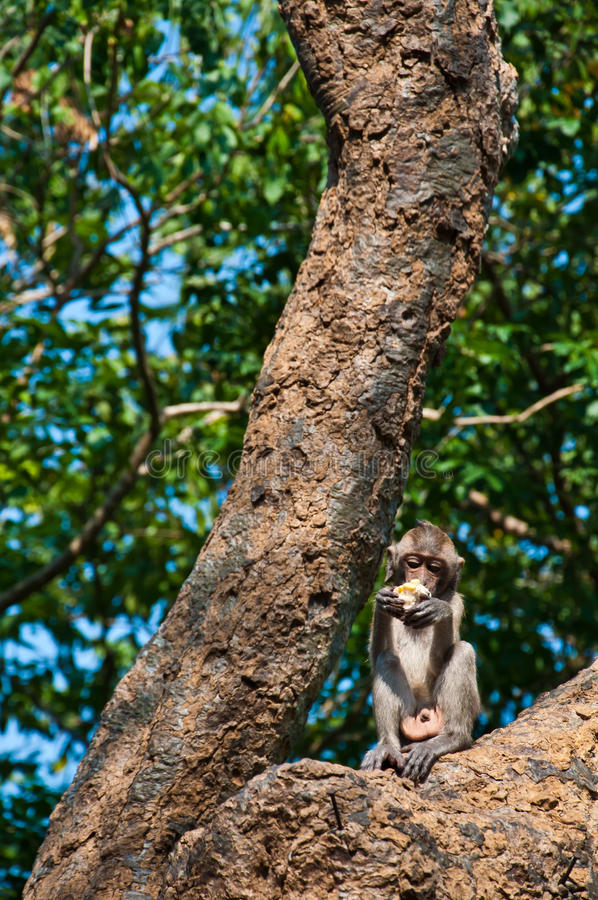 Długoogonkowy macaqu pieniądze je kukurudzy na drzewie w Tajlandia zdjęcia stock