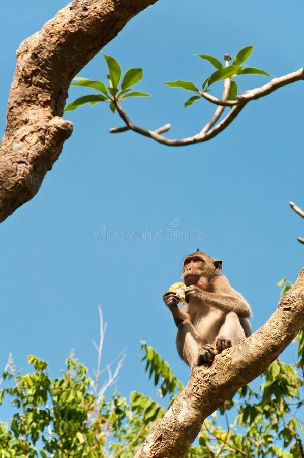 Długoogonkowy macaqu pieniądze je kukurudzy na drzewie w Tajlandia obraz stock