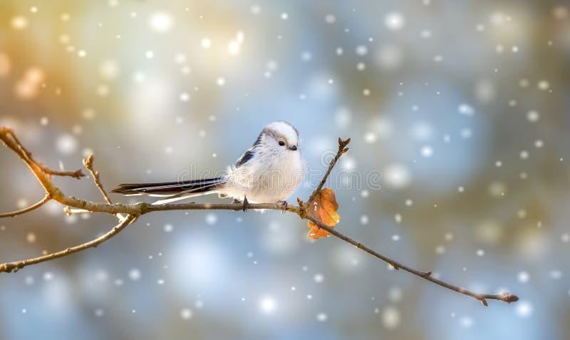 Długoogonowy kaudatus aegithalos siedzący na gałęzi drzewa Słodki ptak puszysty w dzikiej zwierzynie obrazy stock