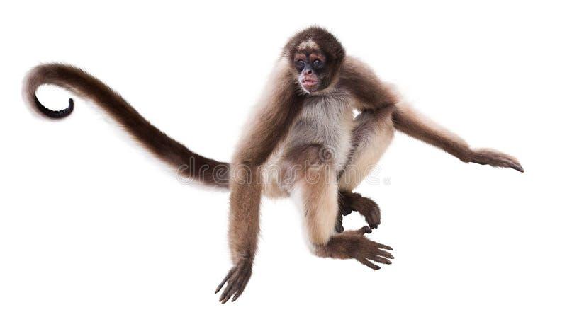 Długowłosa pająk małpa zdjęcie stock
