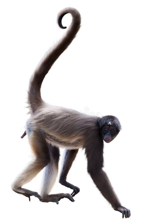Długowłosa pająk małpa obrazy stock