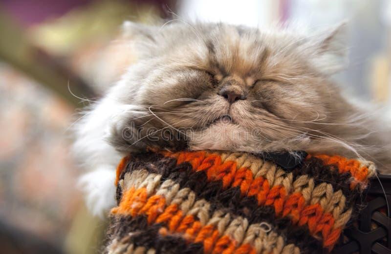 Długowłosy Perski kot śpi z wygodą obraz stock