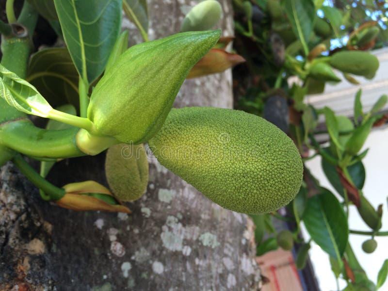 dźwigarek owoc na gałąź fotografia stock