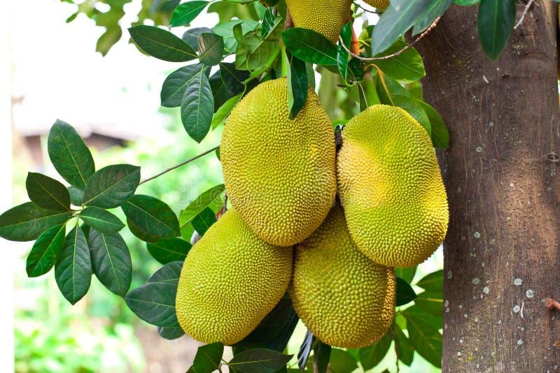 dźwigarki owocowy ogrodowy drzewo zdjęcia royalty free