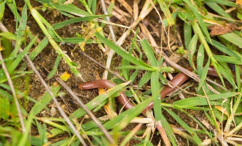 Dżdżownica wąż pod roślinnością zdjęcia royalty free
