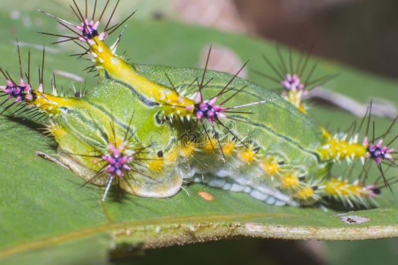 Dżdżownica w makro- widoku na liściu, insekt w naturze fotografia stock