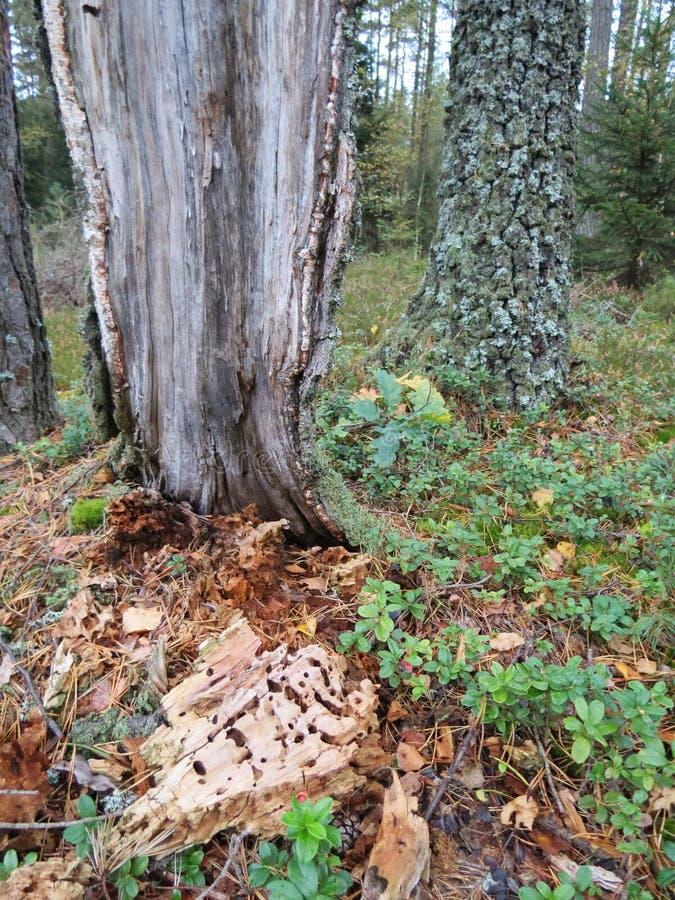 Dżdżownicy wygryziony drzewo obrazy royalty free