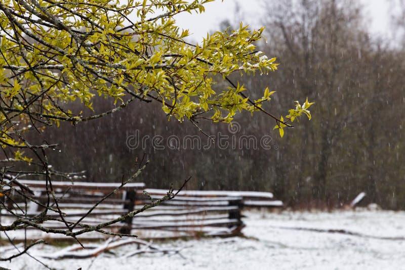Dżdżysty śniegu i ptaka drzewny okwitnięcie w wiośnie zdjęcie stock