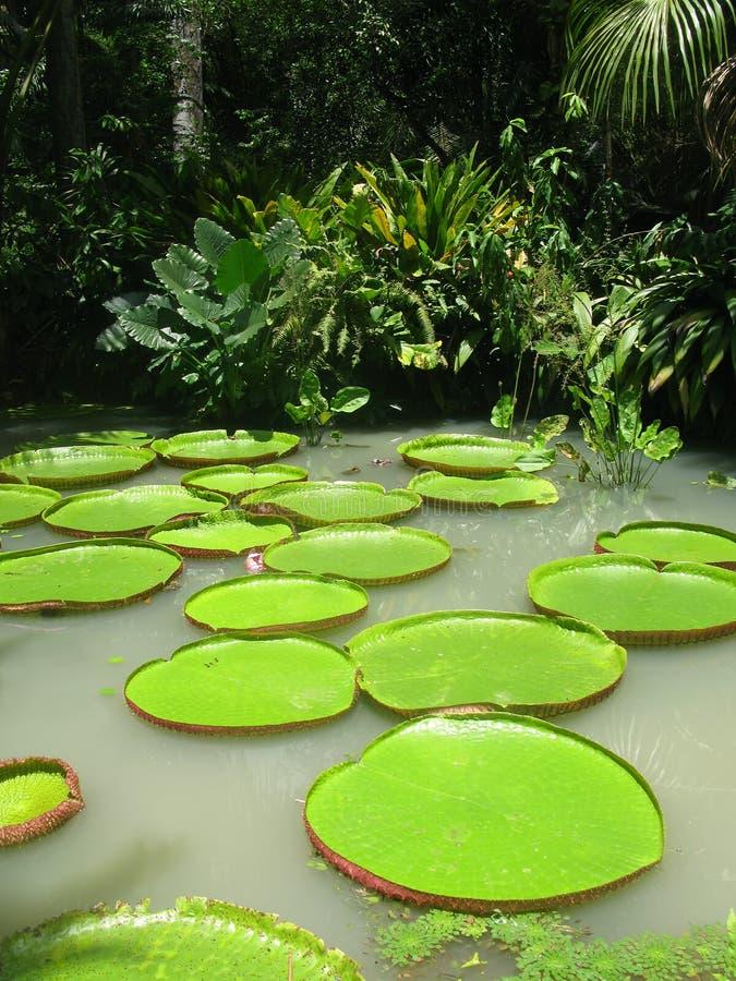 dżungli lillies woda obraz royalty free