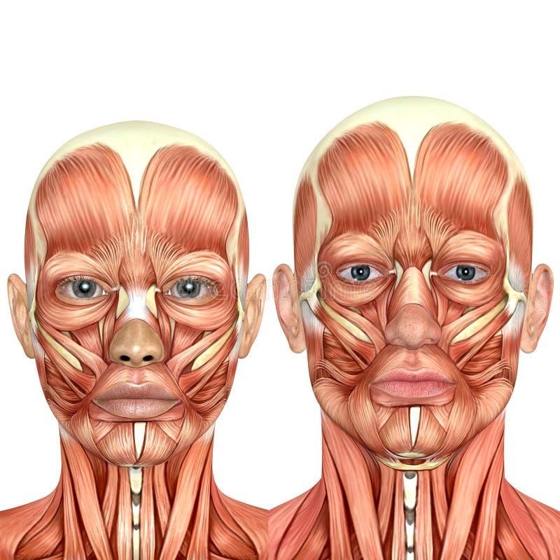 3d一起男性和女性面孔解剖学 库存例证