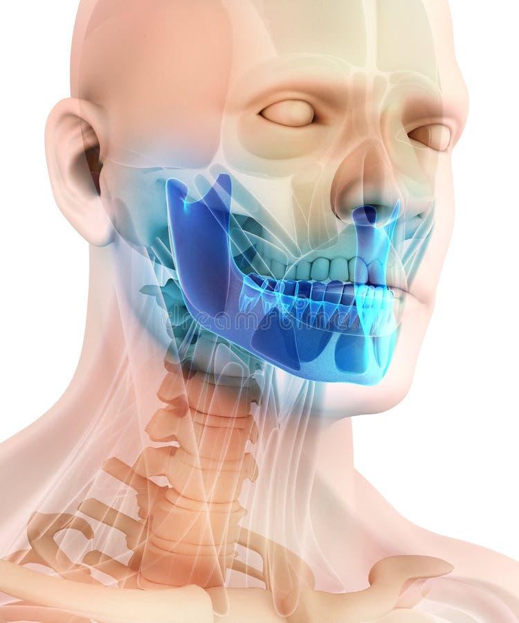 3D下颚骨的例证,医疗概念 向量例证