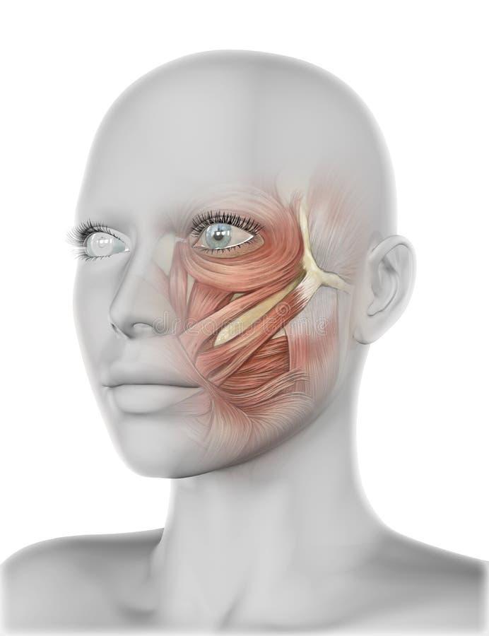 3D与面颊肌肉的女性面孔 库存例证