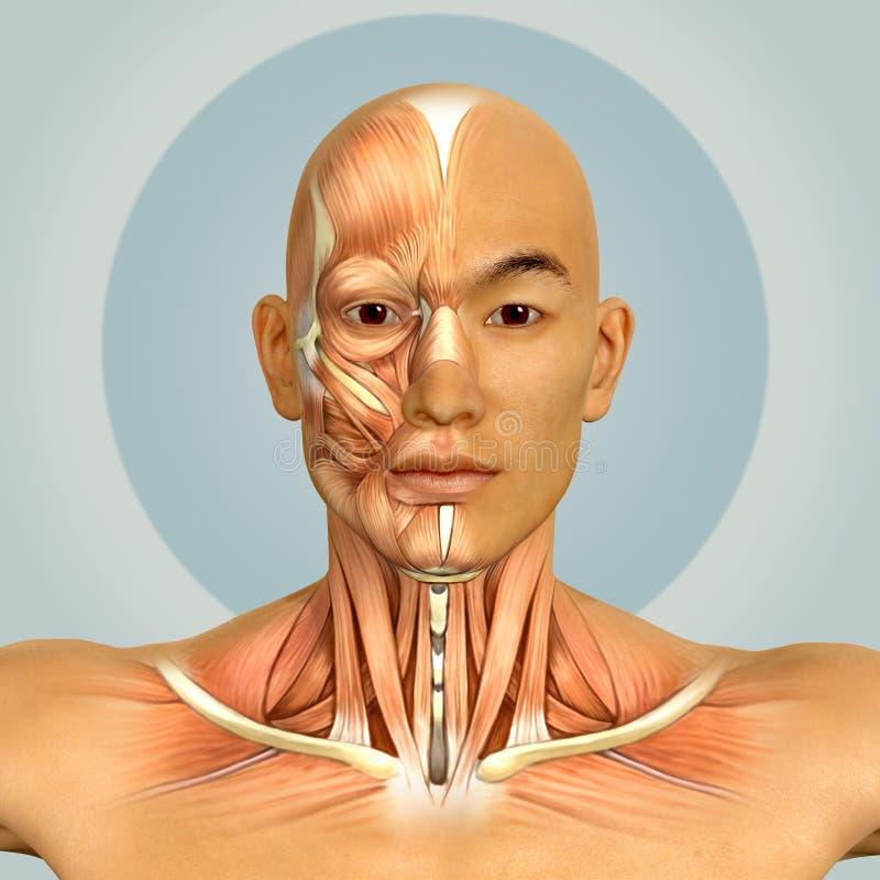 3d亚洲男性式样面孔和脖子肌肉解剖学 向量例证