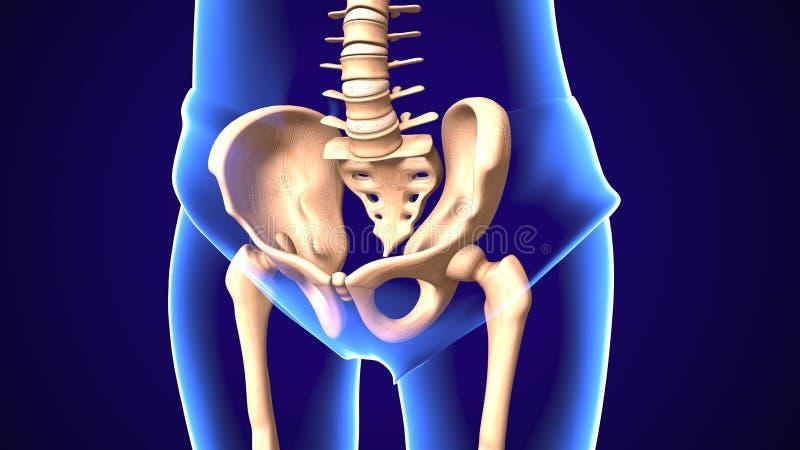 3d人体上弦与斜端杆结点解剖学的例证 向量例证