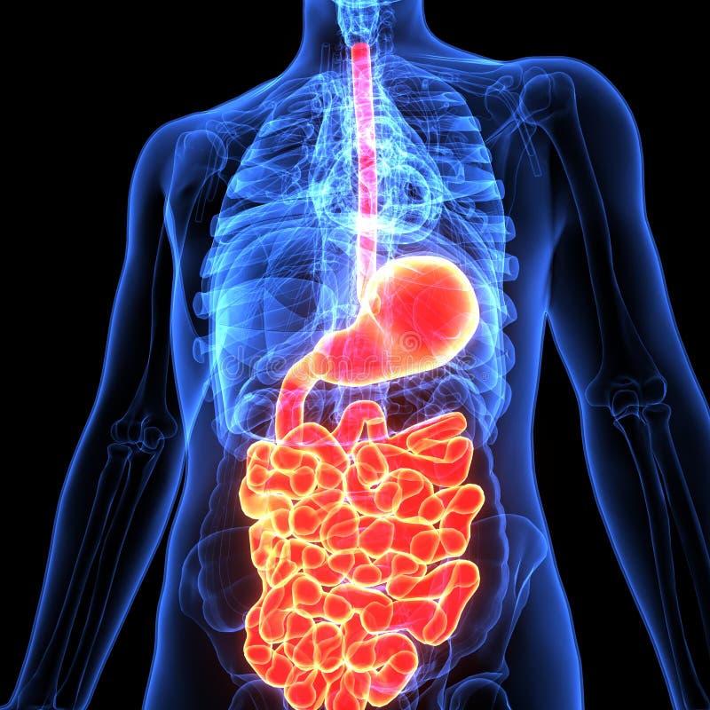 3d人体消化系统解剖学的例证 皇族释放例证