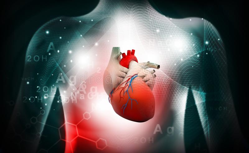 3d人的心脏医疗解剖学 皇族释放例证