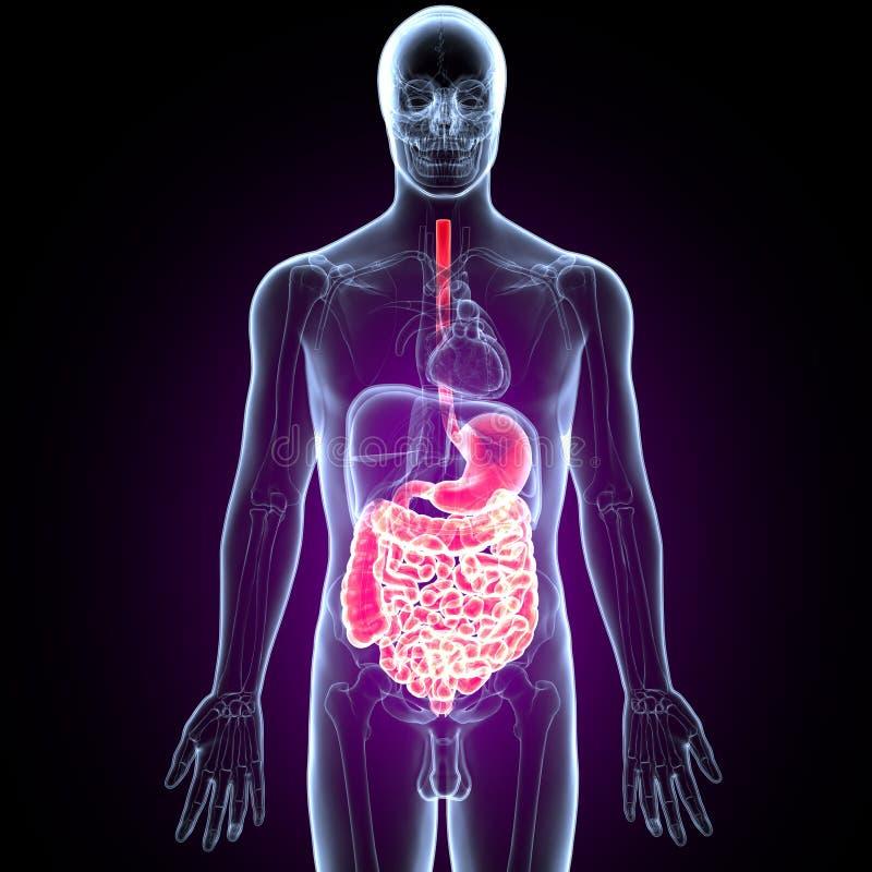 3D人的消化系统解剖学胃的例证有小肠的 向量例证