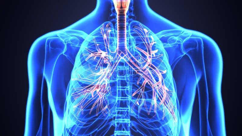 3D人的肺的例证在解剖学喉,气管,细支气管里面的 向量例证