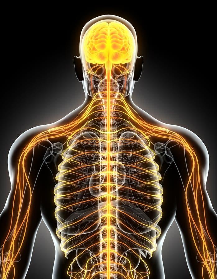 3D例证男性神经系统 库存例证