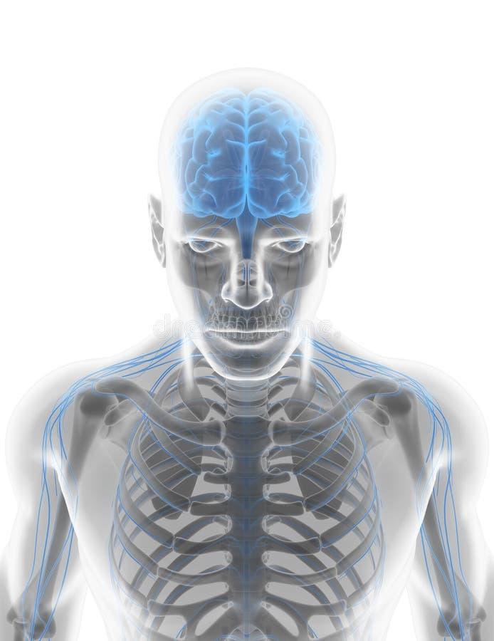 3D例证男性神经系统 皇族释放例证