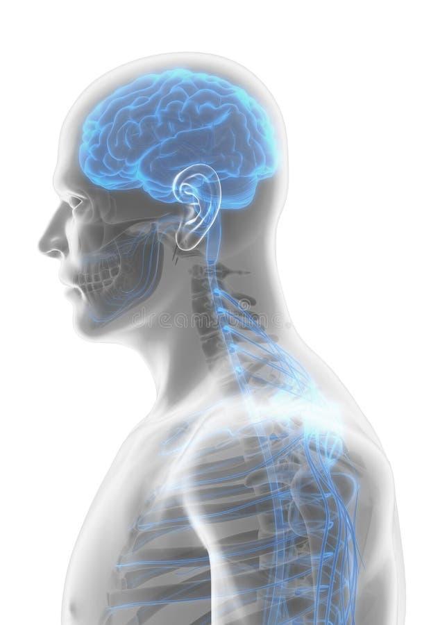 3D例证男性神经系统 向量例证