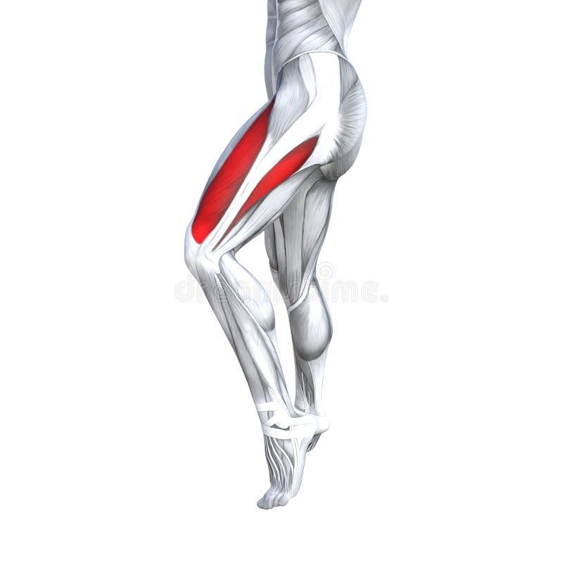 3D例证适合的强的前面上部腿人的解剖学,解剖肌肉隔绝了身体的白色背景 向量例证